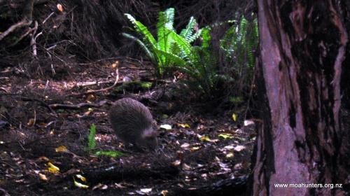 The elusive Kiwi