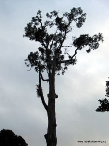 Tall gums outside Port William Hut